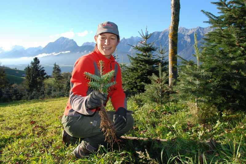 Weihnachtsbaum Tirol: Das Weihnachtsbaum Pflanzen gehört dazu, so klein sind die Setzlinge