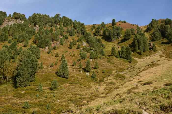 Hier ein Zirbenwald in den Tuxer Alpen - Zirben können sehr alt und groß werden