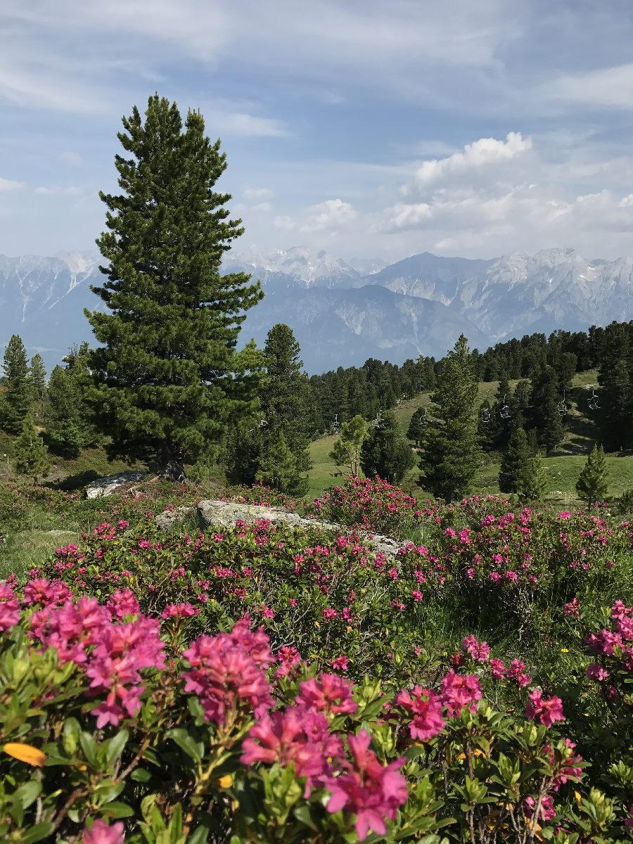 Auch das ist der Zirbenweg Innsbruck: Im Frühsommer kannst du zwischen den Zirben zahlreiche Almrosen bewundern.