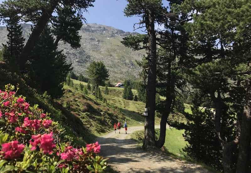 Zirbenweg Innsbruck wandern - Im Frühling ein Traum zur Almrosenblüte