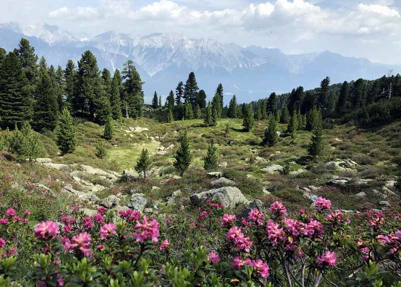So schön ist die Zirbenweg Wanderung, wenn im Juni die Almrosen blühen