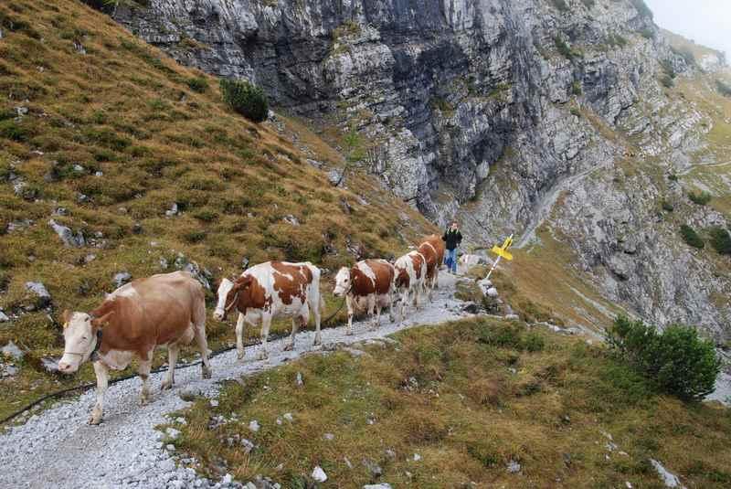 Die schwierige Stelle des Almabtrieb: Auf dem Lamsenjoch über den schmalen Steig zur Lamsenjochhütte