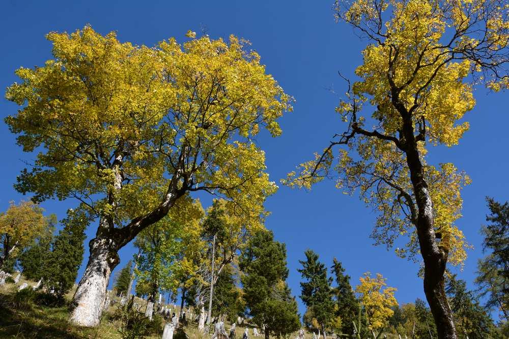 Die goldgelb gefärbten Ahornbäume spornen beim Anstieg an