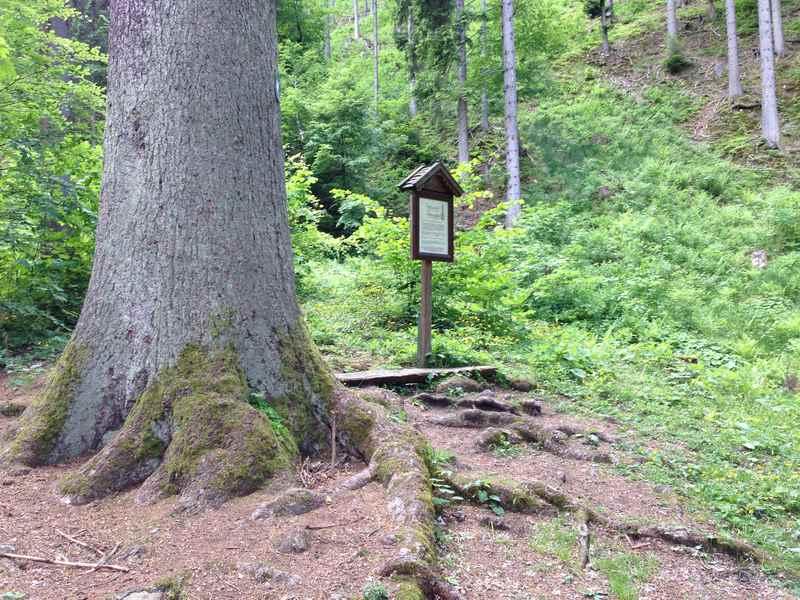Ein Baumriese: Die höchste Fichte in Tirol, unterhalb der Rottenburg