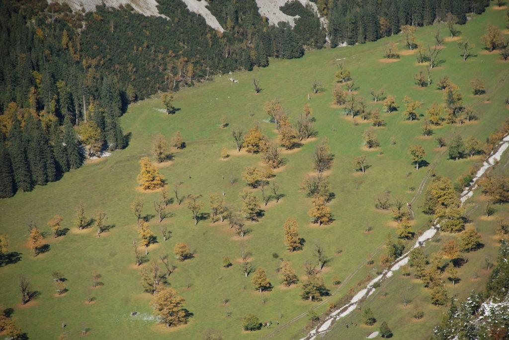 Die Ahornboden Herbstfärbung von oben gesehen: Rund um den Bergahorn liegen schon die ersten Blätter im Herbst