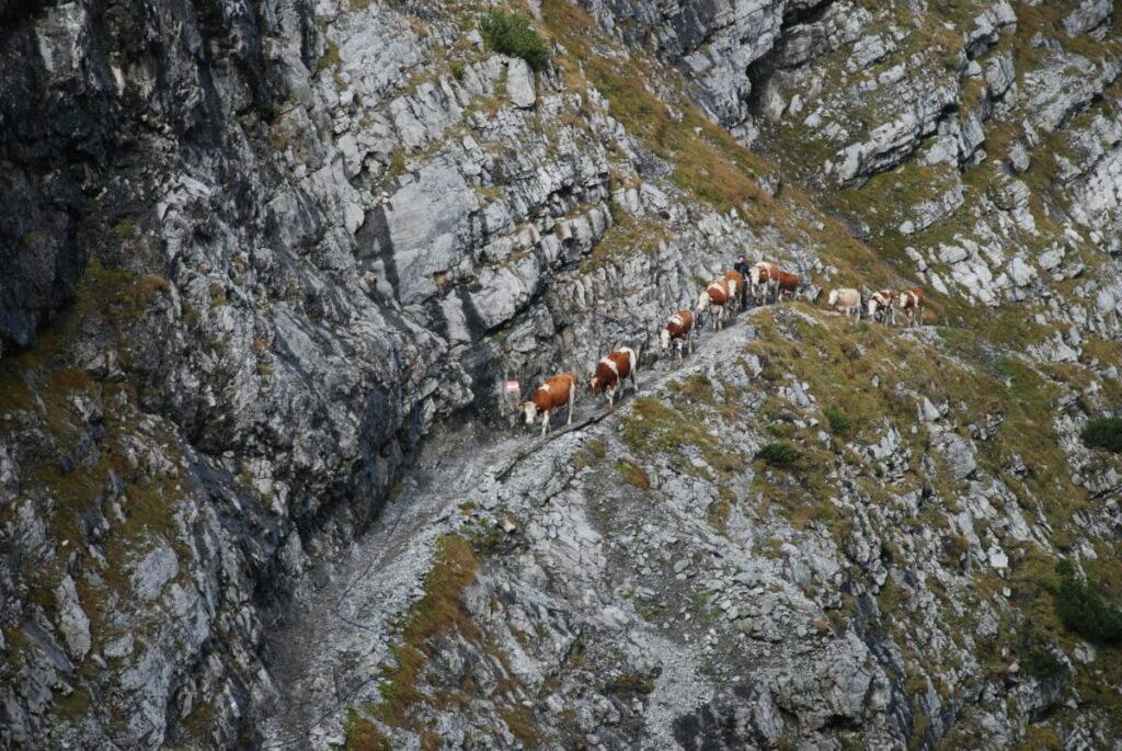 """Unterhalb der Lamsenspitze am Lamsenjoch """"wandern"""" die Kühe beim Almabtrieb Richtung Inntal"""