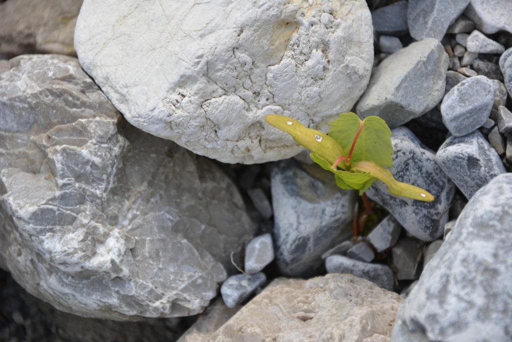 Selbst unter kargen Lebensumständen finden die Triebe des Bergahorn ihren Platz