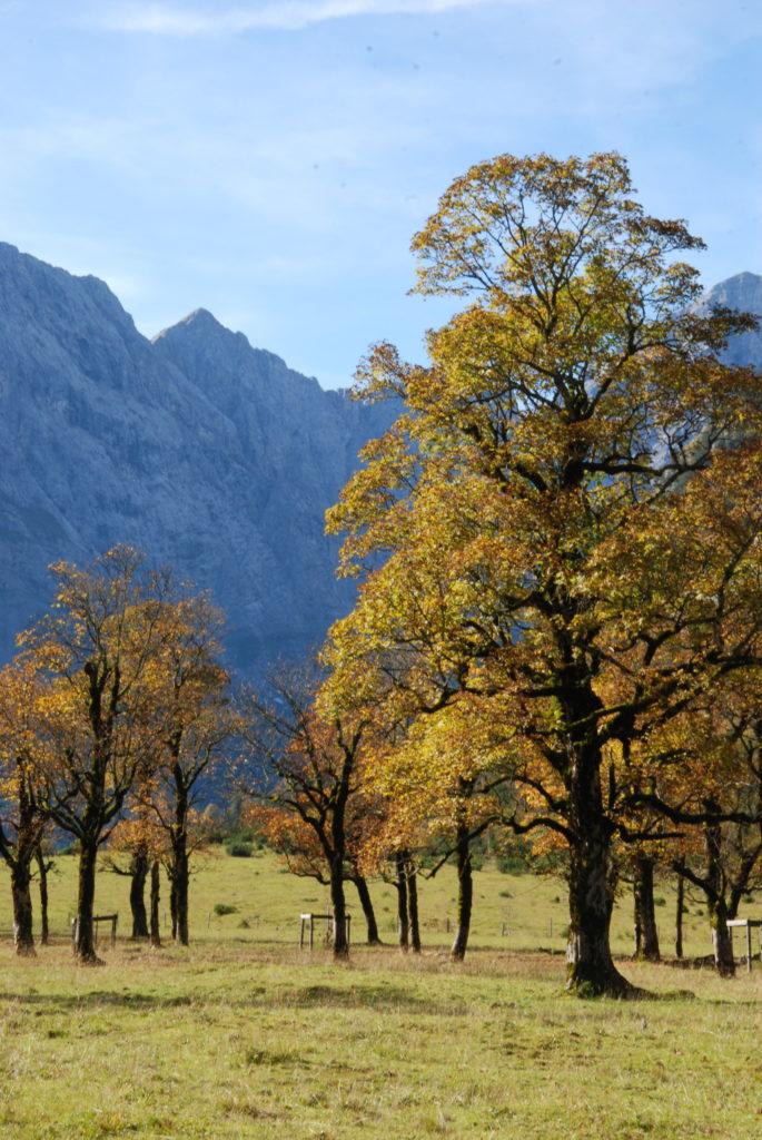 Bergahorn im Herbst am Ahornboden