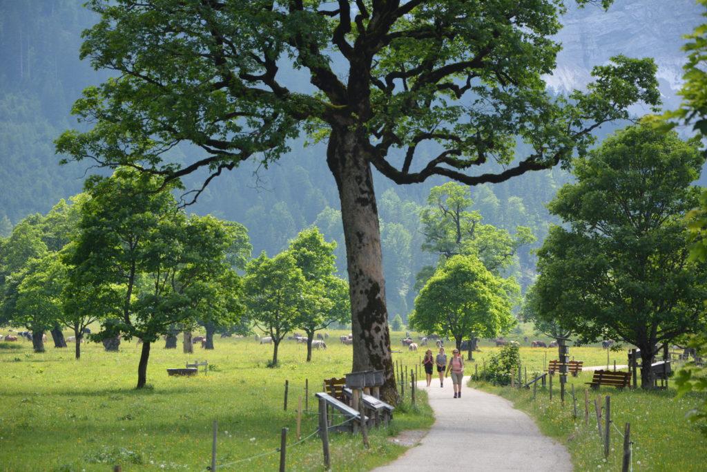 Entlang einer Alle von Bergahorn - Bäumen: Zur Engalm