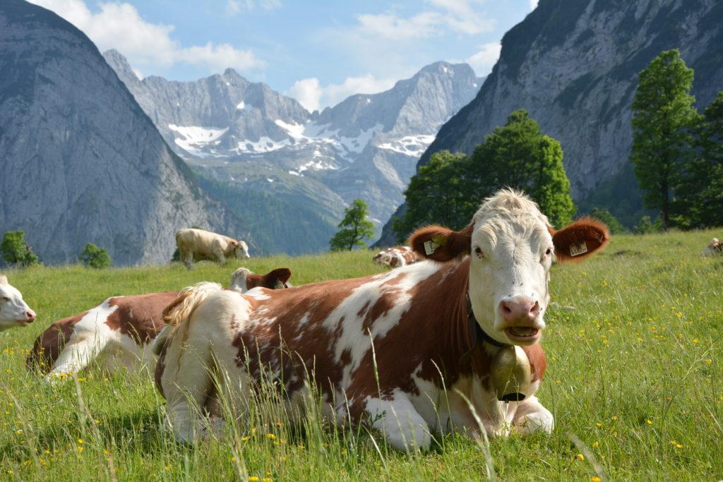 Almauftrieb im Karwendel - der Almsommer beginnt auf der Engalm