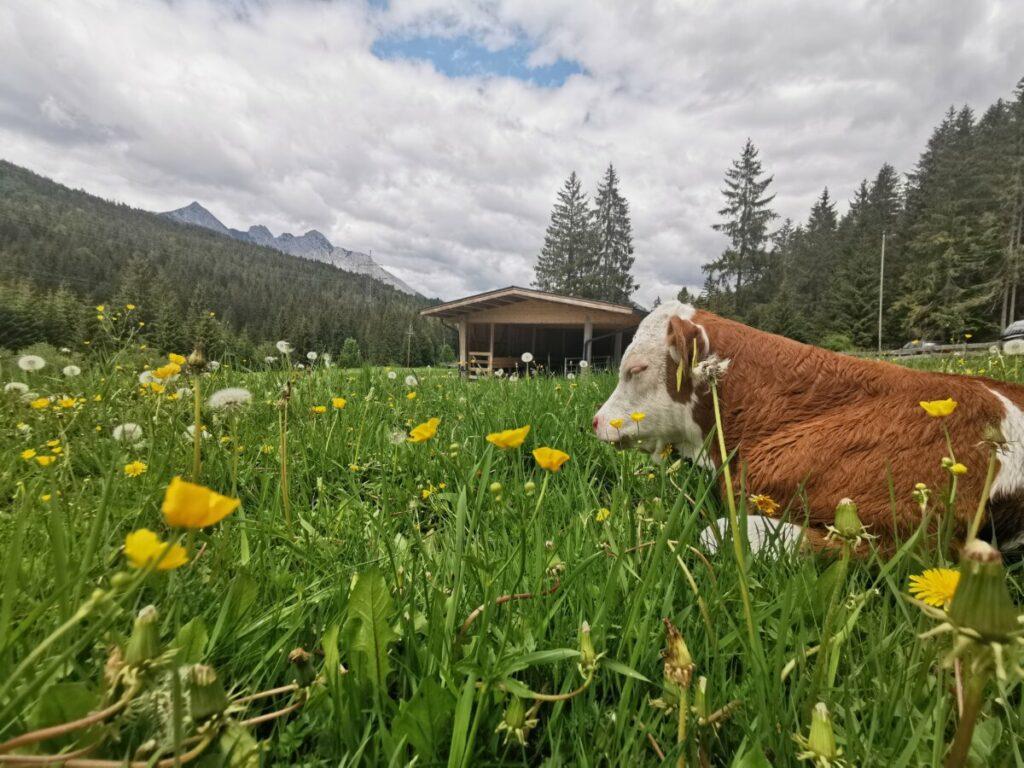 Chillen auf der Bodenalm - die Kühe haben´s gut