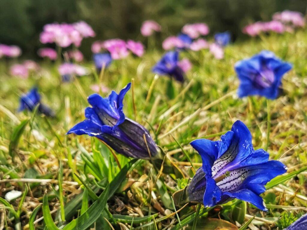Frühlingsurlaub im Karwendel - mit dem langstiligen blauen Enzian