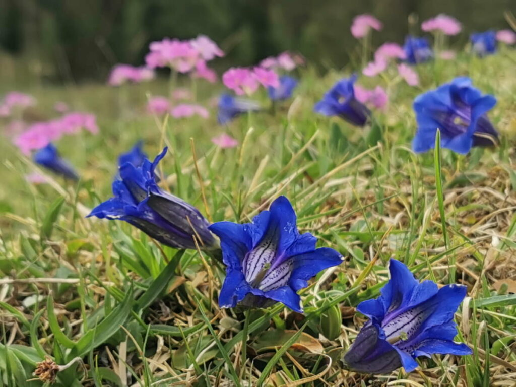 Frühlingswanderungen - ein Traum, wenn der blaue Enzian blüht!