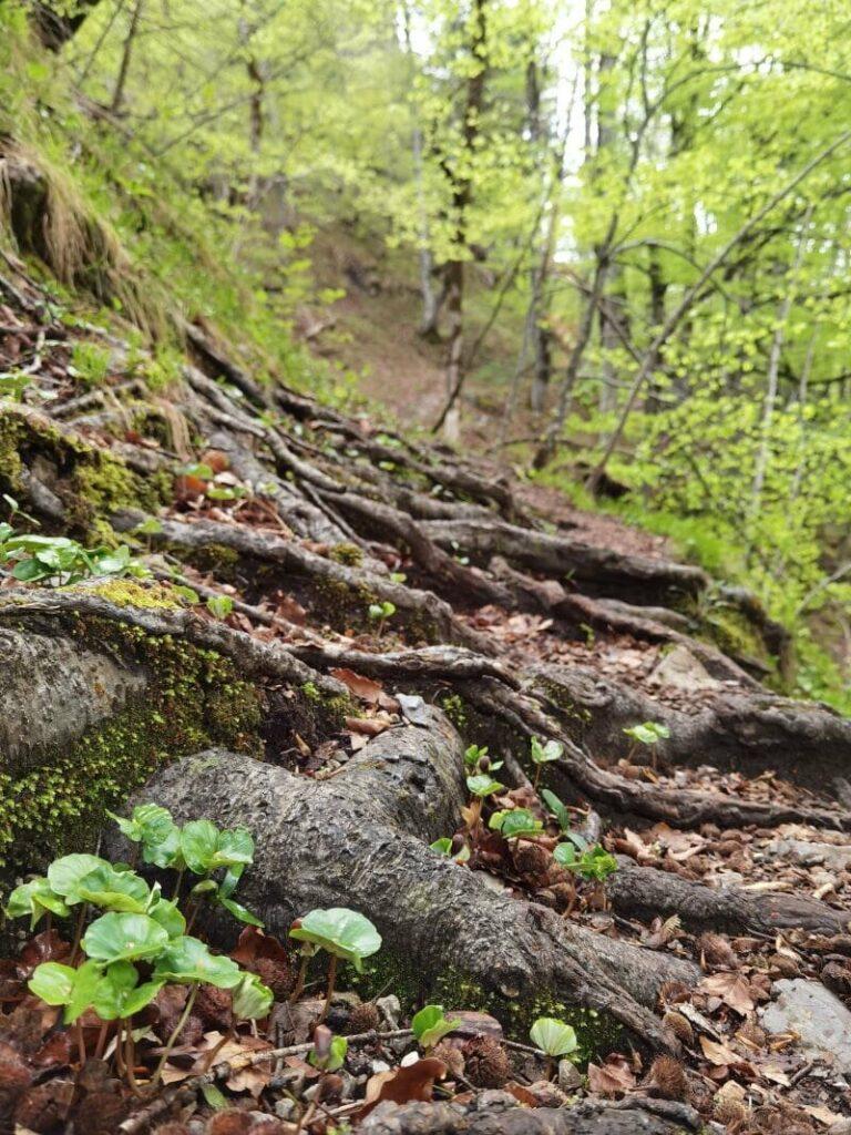 Ich wandere lieber oben am Steig durch den Buchenwald