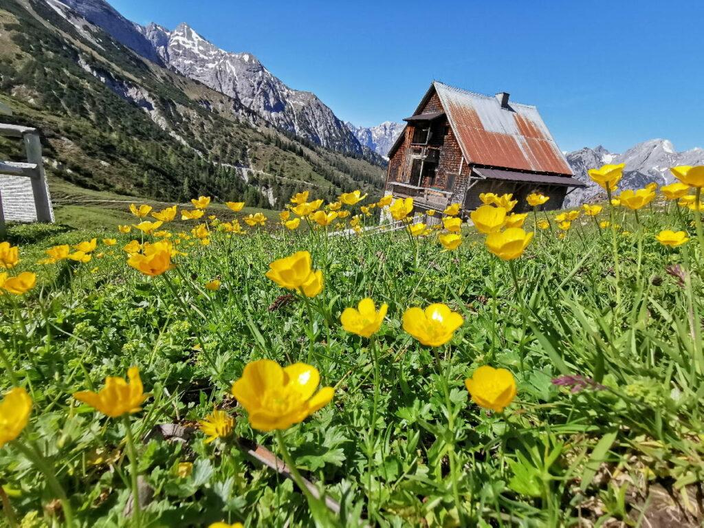 Hinterriss wandern im Frühling: Die Plumsjochhütte mit den vielen Blumen