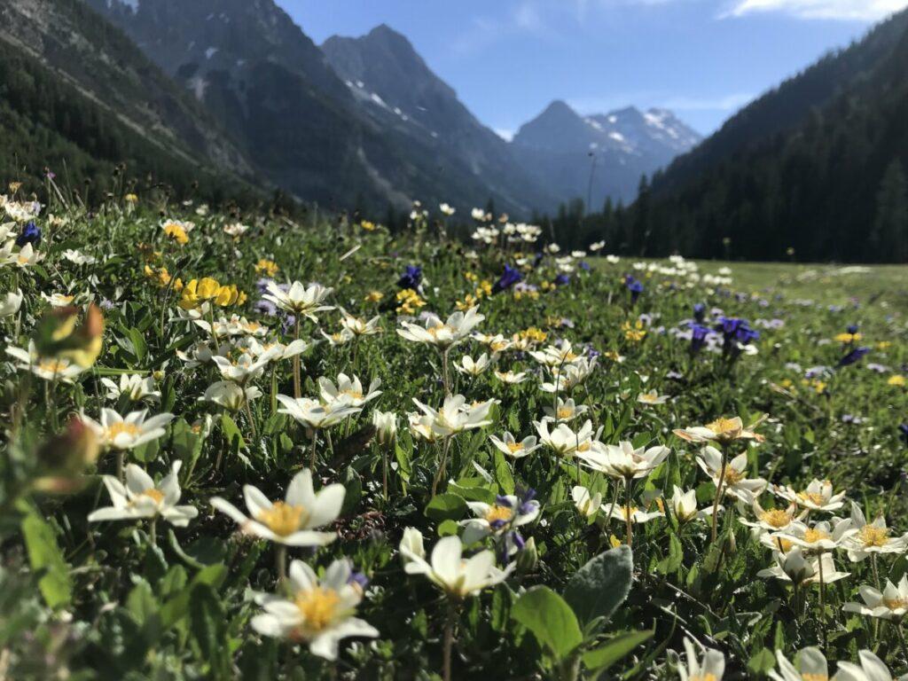 Im Juni durch das blühende Karweneltal zum Karwendelhaus wandern