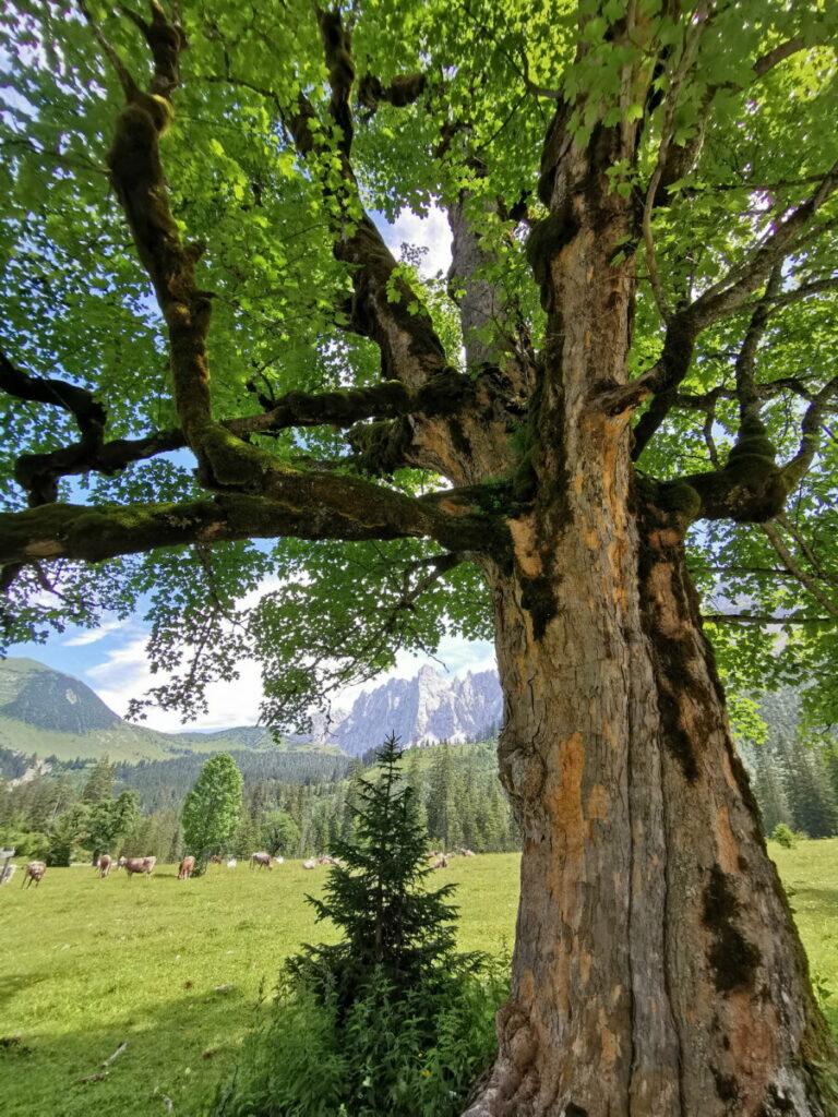 Ab Hinterriß zu erleben: Kleiner Ahornboden mit den knorrigen alten Ahornbäumen