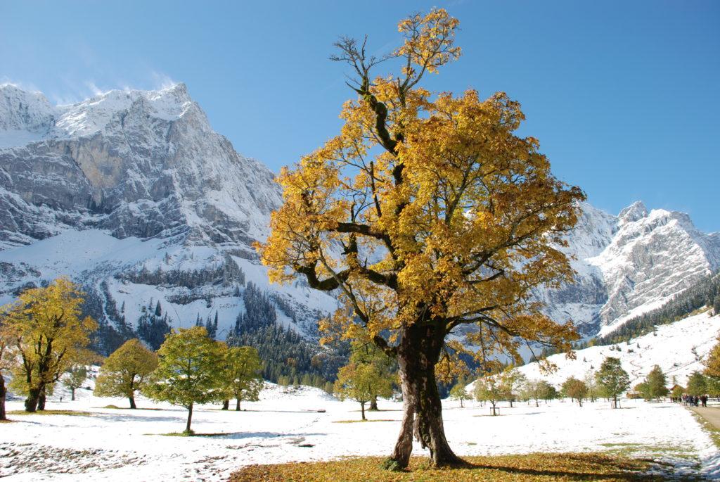 Ein Traum in Gelb und Weiß - Herbst am Ahornboden in Tirol