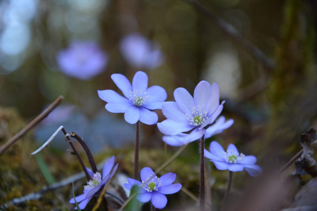 Frühling in den Alpen: Enizanblüte am Großen Ahornboden