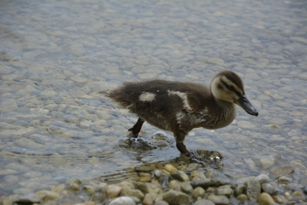 Murnau am Staffelsee baden - in der Murnauer Bucht haben wir auch die keinen Enten getroffen