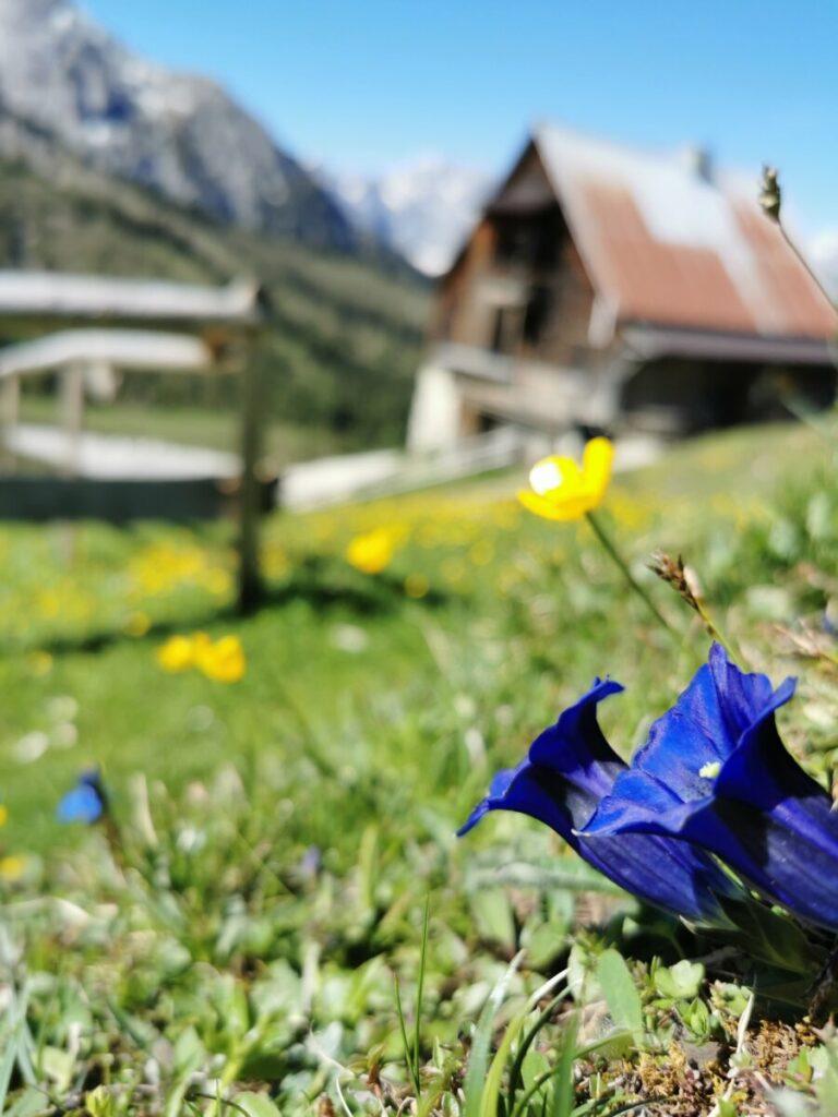 Im Mai und Juni blüht es rund um die Hütte: Besonders schön finde ich den blauen Enzian