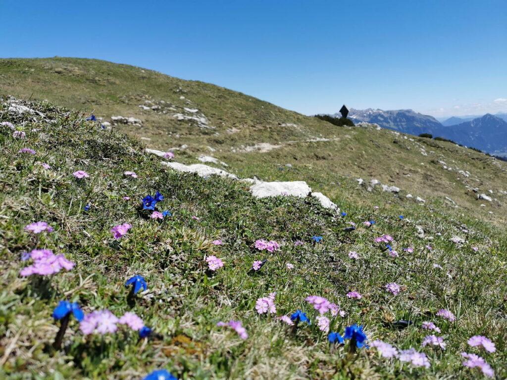 Die Blumenwiese oberhalb vom Plumsjoch - mit dem Sattelkreuz und den Spitzen des Rofangebirge
