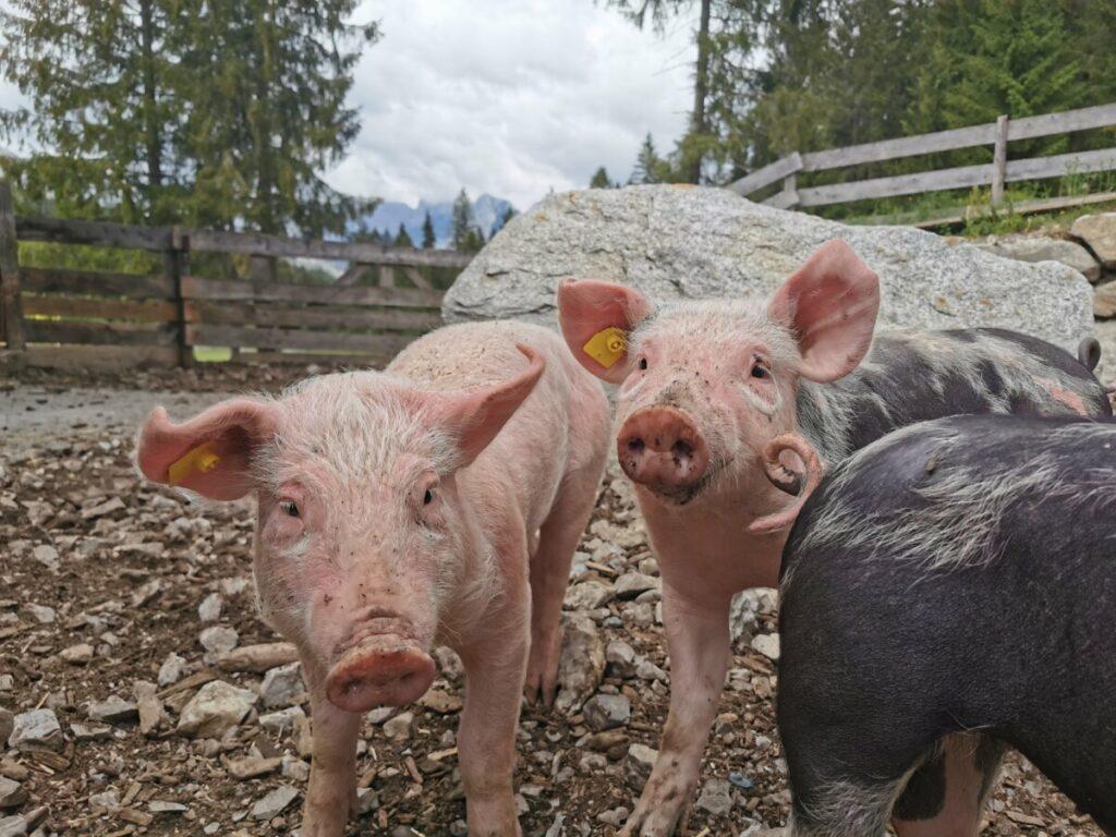 Eine echte Alm mit Schweinen, die es richtig fein haben
