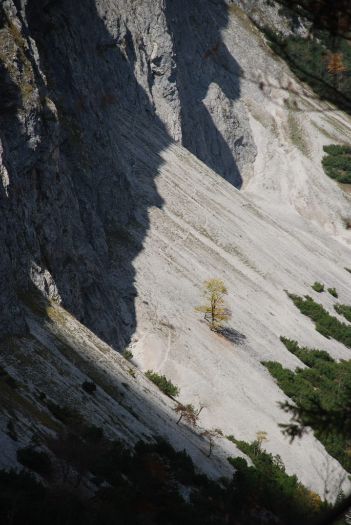 Einsamer Bergahorn im Vomper Loch